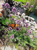 Mackinac Island Monarch by Lauren Catherine
