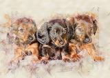Dachsund puppies