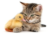 Kitten and a Duckling...
