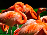 Flamenc Taronja - Orange Flamingo
