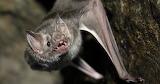 Bat-Appreciation Vampire Bat via National Geographic