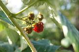 Dernière Framboise 2013 / Last raspberry from 2013