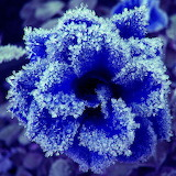 Rose bleue givrée