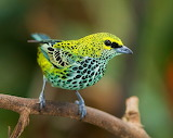 #Speckled Tanager