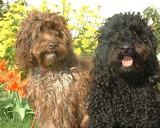 Dog Breed - Auatralian Labradoodle