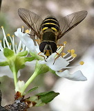 Flowers - American hover fly