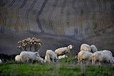 Pecore toscane