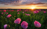 Sunrise, field of pink, poppies