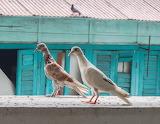 Pigeons-birds
