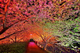Walkway Trough A Tunnel of Blooming Trees
