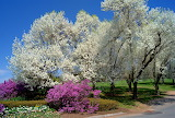Cherry Blossoms At Wickham Park