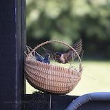 Fledgling Barn Swallows 1