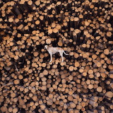 Maddie the Coonhound-lumber pile