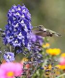 Flowers - Ruby-throated hummingbird on delphinium