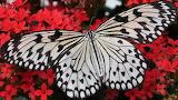 Papillon blanc dentelé de noir
