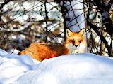 Winter Fox Ypsilanti Township Michigan USA