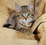 Tabby Kitten...