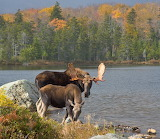 Moose In Baxter State Park