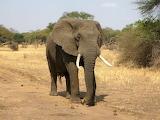 Afryka słoń