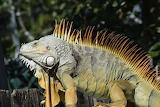 Animals - Green Iguana