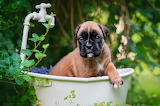 Greens, look, leaves, paw, dog, bath, puppy, bulldog, bokeh, vin