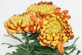 ^ Chrysanthemums