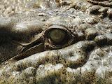 eye croc