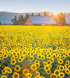 Flowers - Sunflowers - Eastern Washington