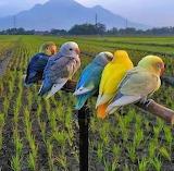 Birdies in a row