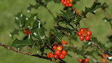 ^ Common holly