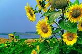 Sunflowers, nature, flowers