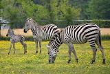 Zebra-BabyMom&Dad