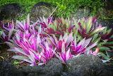 flowers in Samoa, tropical garden