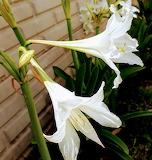 Flores88