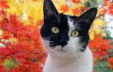 Tuxedo cat enjoying the fall