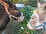 donkeys and moonflowers