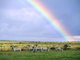 Potw. Wild rainbow.