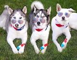 Fourth of July Huskies