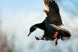 Jason Savage Photography Mallard In Flight