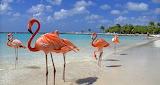 Flamingos Enjoying the Beach Life Aruba Island