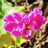 Flores604