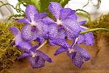 orchid-vanda-sansai-blue-mike-savad