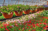 petunia kalihobriya flowers pots