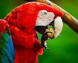 🦜Scarlet Macaw...