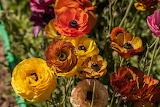 Ranunculus Closeup Multicolor 566483 1280x854