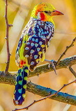 Beautiful spotted colorful bird