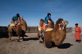 Bactrian Camels Mongolia