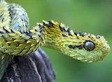 Hairy bush viper atheris hispida