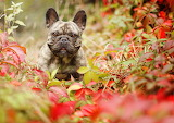 Dogs French Bulldog 530529 1280x905