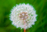 Dandelion - Dent de Lleó